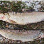 Белорыбица: что за рыба, как готовить? Белорыбица: рецепты с фото