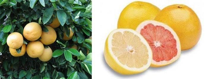 Как созревает грейпфрут
