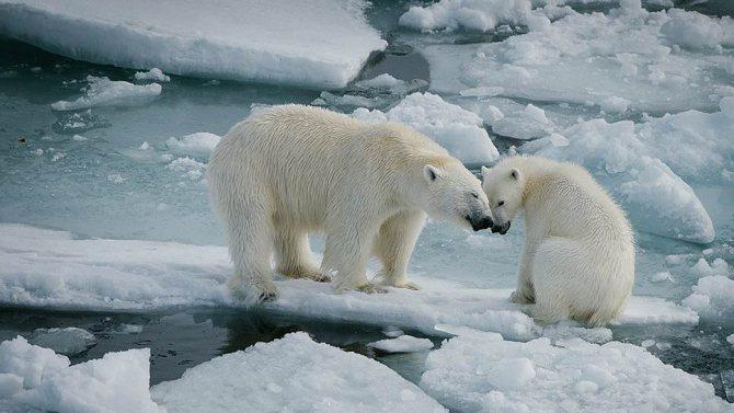 По данным ученых, популяция белых медведей в Арктике может достигать 25 тысяч особей