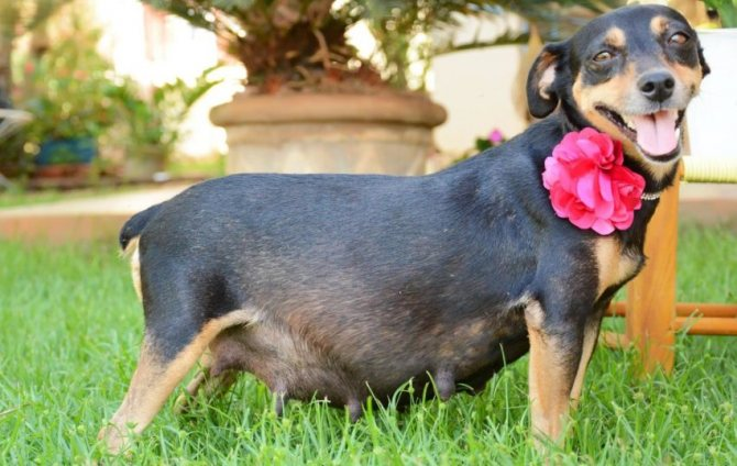 сколько длится беременность у собаки