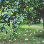 зеленые яблоки на земле